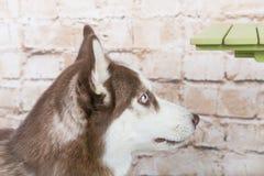 Hülse ` s Hund stiehlt ein Stück der Wurst von der Tabelle im Geheimnis von den Eigentümern Stockfoto