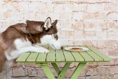 Hülse ` s Hund stiehlt ein Stück der Wurst von der Tabelle im Geheimnis von den Eigentümern Lizenzfreie Stockfotografie