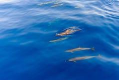 Hülse von den Delphinen, die im Meer schwimmen Lizenzfreies Stockbild