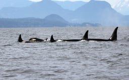 Hülse von Residentschwertwalen der Küste nahe Sechelt, BC lizenzfreie stockbilder