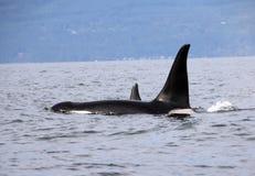Hülse von Residentschwertwalen der Küste nahe Sechelt, BC stockfoto