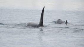 Hülse von Schwertwalen, Island lizenzfreie stockbilder