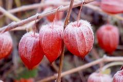 Hülsetomatefrüchte abgedeckt mit Schnee. Lizenzfreie Stockbilder