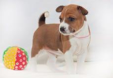 Hündchen, die nicht afrikanisches Hunderasse basenji abstreifen Stockfotos