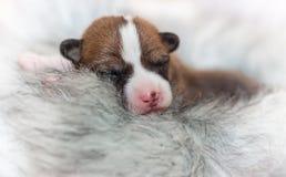 Hündchen, die nicht afrikanisches Hunderasse basenji abstreifen Lizenzfreie Stockfotos