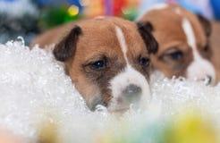 Hündchen, die nicht afrikanisches Hunderasse basenji abstreifen Lizenzfreies Stockbild
