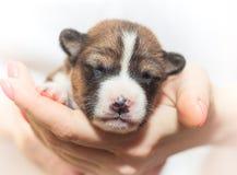 Hündchen, die nicht afrikanisches Hunderasse basenji abstreifen Stockbild