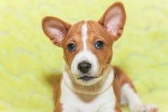 Hündchen, die nicht afrikanisches Hunderasse basenji abstreifen Lizenzfreie Stockbilder