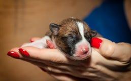 Hündchen, die nicht afrikanisches Hunderasse basenji abstreifen Stockfotografie