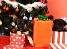 Hündchen schauen aus gestreift heraus und beschmutzten Weihnachtsgeschenke stockbilder