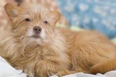 Hündchenbeige Der Hund liegt auf der Couch Porträt eines Nahaufnahmehundes lizenzfreie stockfotos