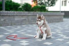 Hündchenschlittenhund wartet auf der Straße, mit Kopienraum Text, einsames Liebeskonzept Stockfotografie