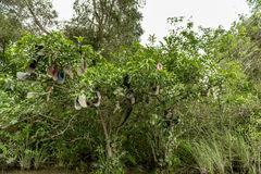 Hüte auf dem Baum im Sumpfgebiet-Alligator bewirtschaften, Florida lizenzfreie stockbilder
