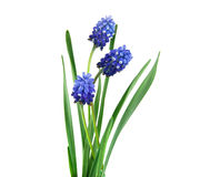 härlig blå blomma isolerad white royaltyfria foton
