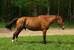 häst som binds upp Arkivbild