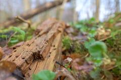H?bitat natural para los insectos en el bosque por la ma?ana Madera putrefacta como protecci?n para preservar biodiversidad imagenes de archivo