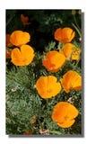 H?bsche Mohnblumen lizenzfreie stockfotos