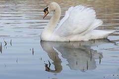 H?ckerschwan auf einem sonnigen Morgen lizenzfreies stockfoto