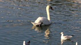 H?ckerschwan in dem Teich stock video footage