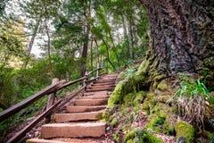 H?lzerne Schritte, die oben einen gr?nen Wald in Marin County, Nord-San- Francisco Baybereich, Kalifornien durchlaufen lizenzfreies stockfoto