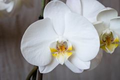 h?rlig blommaorchid close upp Orkid?knopp arkivfoto
