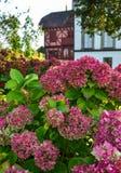 H?rlig buske av vanlig hortensiablommor royaltyfri bild