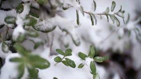 H?rlig filial med gr?na sidor i sen nedg?ng eller tidig vinter under sn?n F?rsta sn?, sn?flingor faller, n?rbilden arkivbild