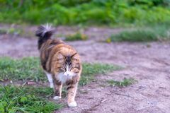 H?rlig fluffig katt med en blick p? bakgrunden av naturen arkivbild