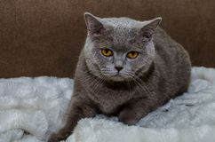 H?rlig gr? skotsk katt p? en filt royaltyfria foton