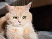 H?rlig kr?m- strimmig kattkatt med gr?na ?gon som sitter p? mattan som vilar fr?n lekarna royaltyfri fotografi