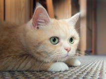 H?rlig kr?m- strimmig kattkatt med gr?na ?gon som sitter p? mattan som vilar fr?n lekarna royaltyfri foto