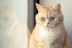 H?rlig ledsen kr?mig strimmig kattkatt som sitter n?ra f?nstret arkivbilder