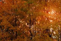 h?rlig liggande f?r h?st Kronaguling-apelsin träd på solnedgången f?nster f?r textur f?r bakgrundsdetalj tr?gammalt arkivbild