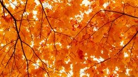 h?rlig liggande f?r h?st Solig dag för kronaguling-apelsin lönn f?nster f?r textur f?r bakgrundsdetalj tr?gammalt royaltyfria bilder