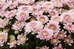 H?rlig maskrosbakgrund, rosa blommor blommar i tr?dg?rden royaltyfri foto