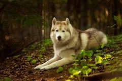 H?rlig och fri Siberian skrovlig hund som ligger i skogen p? den guld- solnedg?ngen i v?r royaltyfri fotografi