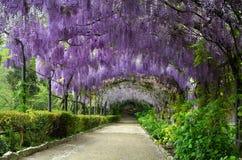 H?rlig purpurf?rgad wisteria i blom blomma wisteriatunnelen i en tr?dg?rd n?ra Piazzale Michelangelo i Florence arkivfoto
