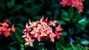 H?rlig r?d grov spikblomma Konung Ixora som blommar chinensis Ixora royaltyfria bilder