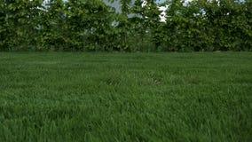 H?rlig sikt av den fr?mre g?rden av den privata tr?dg?rden Gräsmatta för grönt gräs med unga buskar runt om omkretsen stock video