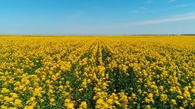 H?rlig sikt av det stora f?ltet som t?ckas med ljusa gula blommor mot den bl?a himlen i varm sommardag skjutit royaltyfri foto