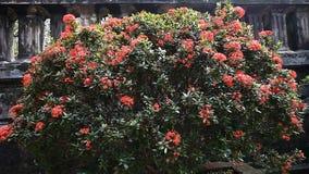 H?rlig tropisk fj?ril p? en ljus blomningbuske stock video