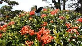 H?rlig tropisk fj?ril p? en ljus blomningbuske lager videofilmer