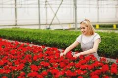 H?rlig ung le flicka, arbetare med blommor i v?xthus Begreppsarbete i v?xthuset, blommor kopiera avst?nd royaltyfria bilder