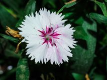 H?rlig vit blomma f?r rosa f?rger och royaltyfri fotografi