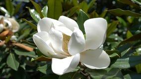 H?rlig vit magnoliablomma i en tr?dg?rds- n?rbild 4k blomma som bl?sas av vinden l?ngsam r?relse lager videofilmer