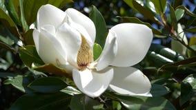 H?rlig vit magnoliablomma i en tr?dg?rds- n?rbild 4k blomma som bl?sas av vinden l?ngsam r?relse arkivfilmer