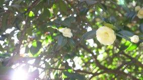 H?rlig vit magnoliablomma i vinden i tr?dg?rden Sun ljus 4k ultrarapid lager videofilmer