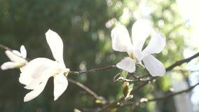 H?rlig vit magnoliablomma i vinden i tr?dg?rden Sun ljus 4k ultrarapid arkivfilmer