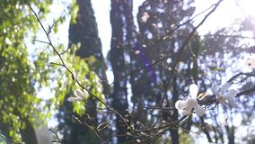 H?rlig vit magnoliablomma i vinden i tr?dg?rden Sun ljus 4k ultrarapid stock video