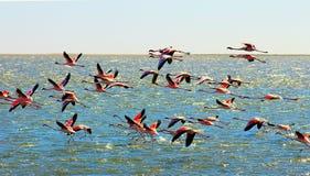 H?rliga afrikanska rosa flamingoflugor ?ver havet arkivfoton